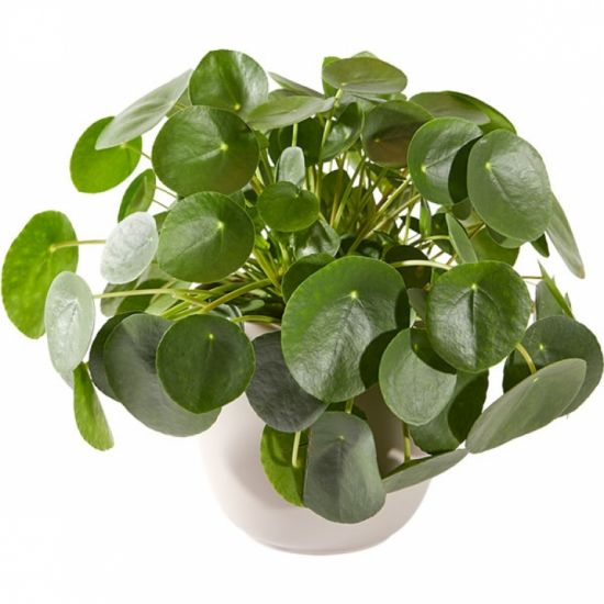 Блинное растение